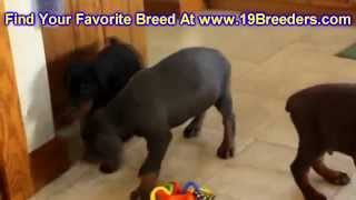 Doberman Pinscher, Puppies, For, Sale, In, Portland, Maine, Me, Brunswick, Waterville, Westbrook, Sa