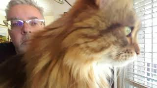 Telepathic Siberian Forest Cat