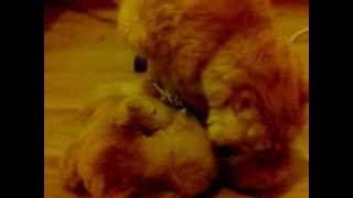 """Кот """"жарит"""" медведя!!!"""