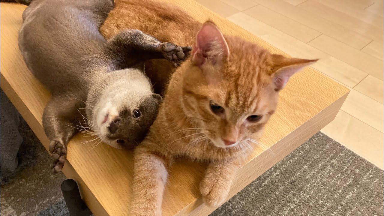 カワウソさくら ターン制で追いかけ合うカワウソ猫 Otter and cat chasing in turn