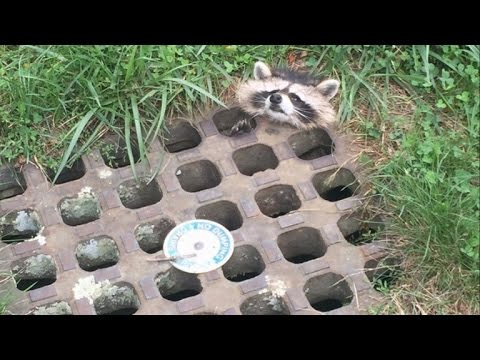Poor Raccoon Rescued After Getting Head Stuck In Grate Of Storm Drain