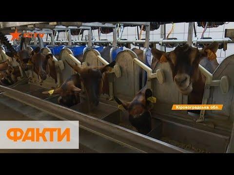 Козья ферма на Кировоградщине: как разводят альпийскую породу и выгоден ли бизнес