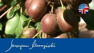 Actinidia KIWI BERRY - species, varieties, applications - Part 1