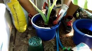 how to repot a thailand giant elephant ear plant