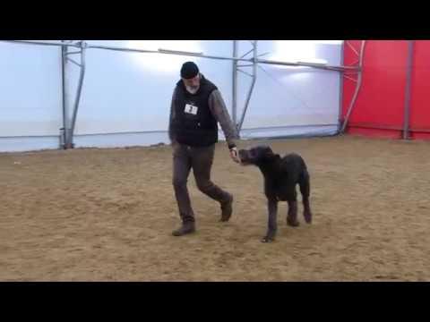Dog Show Stuhr Celtic Shamrock Khal Drogo Dogs Babyclass Irish Wolfhound