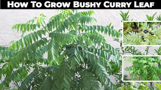 Curry Leaf Propagation, Pruning, Repotting & Harvest - in 4K