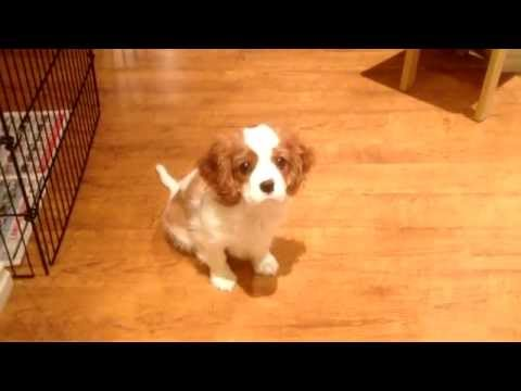 Cavalier King Charles Spaniel`s Accident