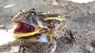 Злая лягушка