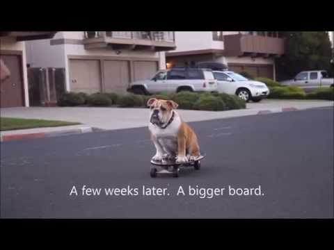 English Bulldog Learns to Skate