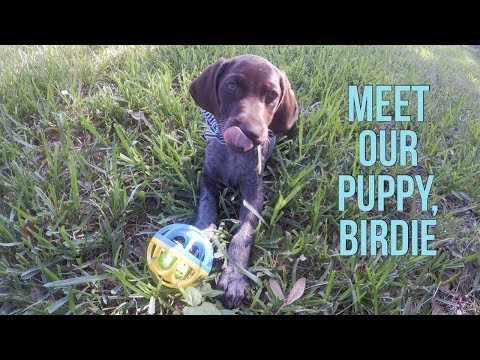 German Shorthaired Pointer Puppy – First Few Days at Home // GoPro