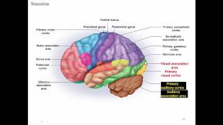 Cerebrum: Sensory and Motor Functions