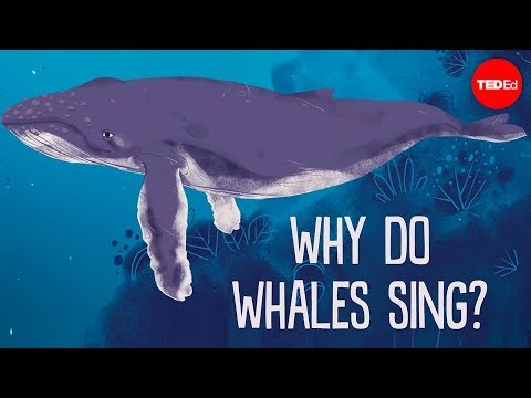 Video image: Why do whales sing? - Stephanie Sardelis