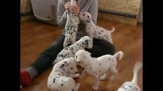 Dalmatian Puppies Stormguard Kennel 2 / Щенки далматина 2