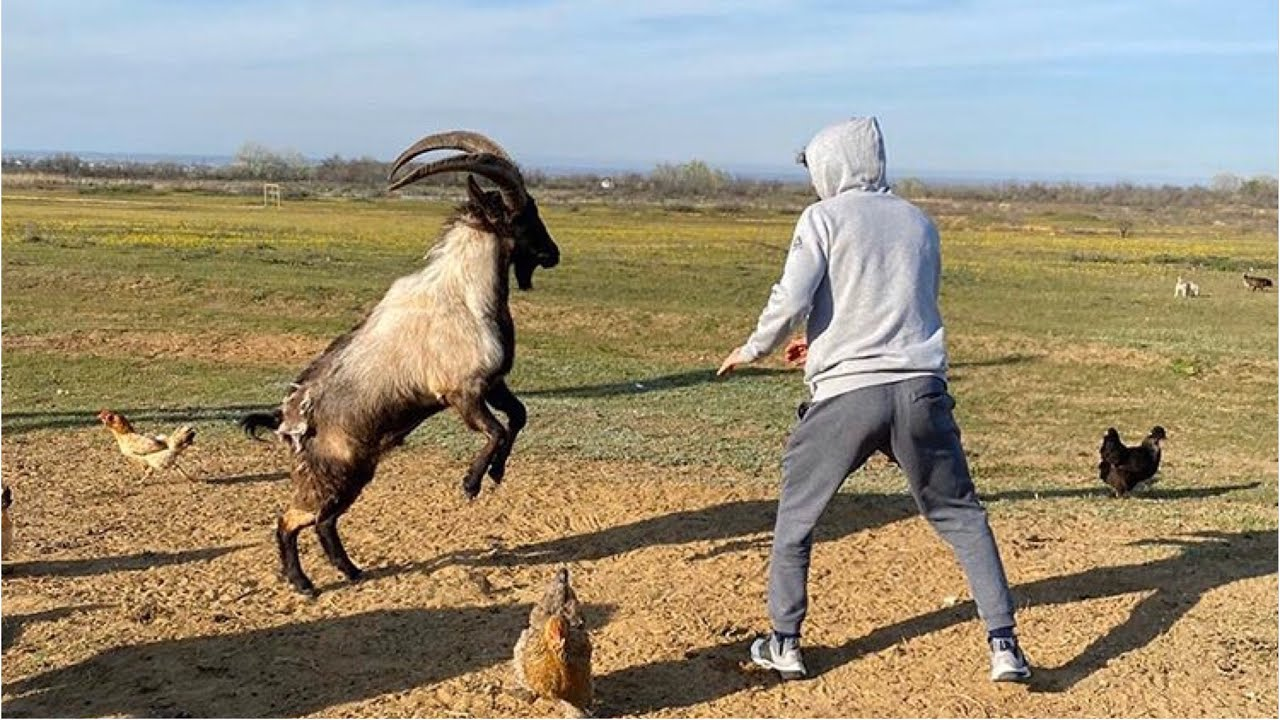 Download Zabit Grapples An Angry Goat 🐐 🔥