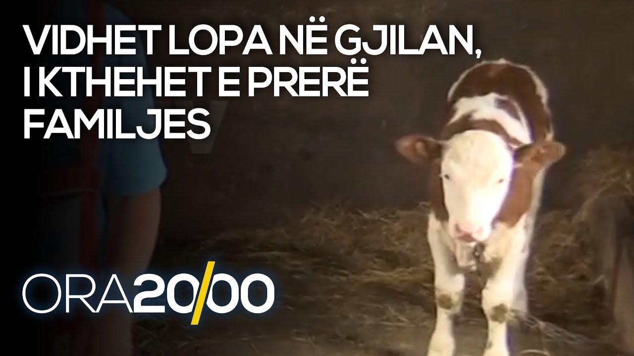 Vidhet lopa në Gjilan, i kthehet e prerë familjes  - 09.06.2021 - Klan Kosova