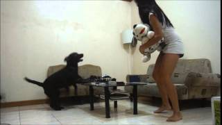 A Labrador Retriever Gets Jealous Of A Dalmatian Stuffed Toy (watch This)