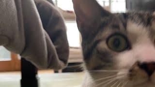 猫のたーくん。掃除機はキャンセルです。