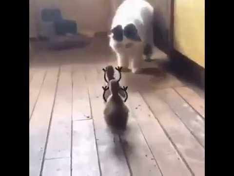 Download Kucing takut sama anak bebek berhantu lucu banget hahaha Cat scared child funny Bebeb