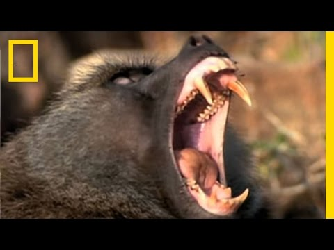 Baboon Attack! | National Geographic