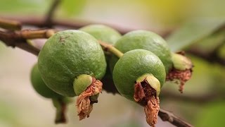 Video Guava Farming (अमरूद की खेती) - In Baatein Kheti Ki - On Green TV download MP3, 3GP, MP4, WEBM, AVI, FLV Juli 2018