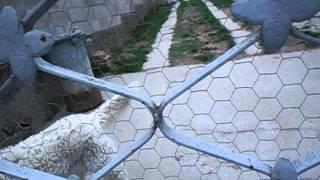 Kuvasz(hungarian Dog Breed)/kuvasz (magyar Kutyafajta)