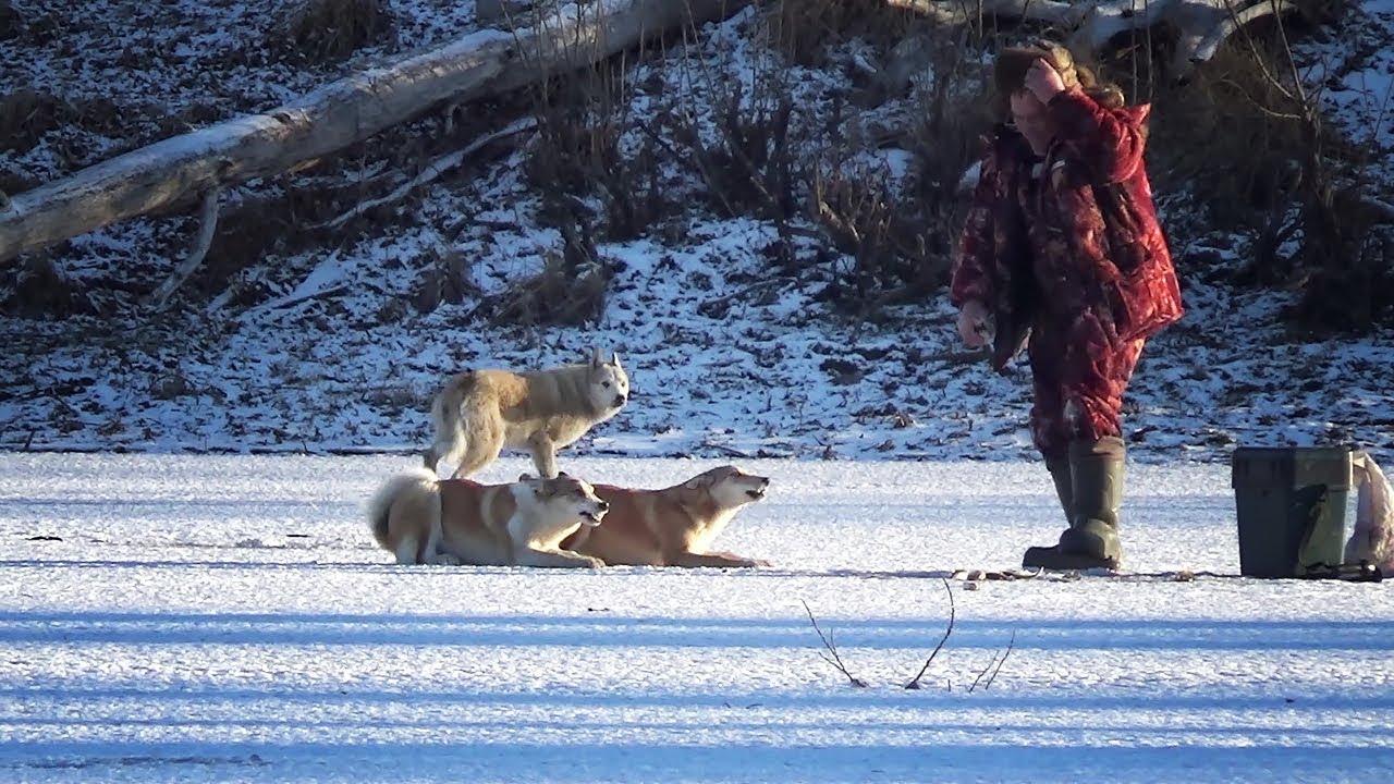 ЩУКА И ОКУНЬ НА БАЛАНСИР! Нападение голодных собак на рыбалке!
