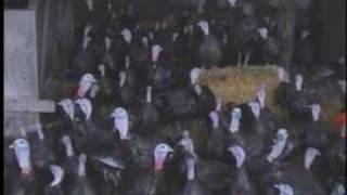 Stuffed! - Viva! investigation of UK turkey farms