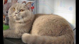 питомник британских кошек NIKOLE