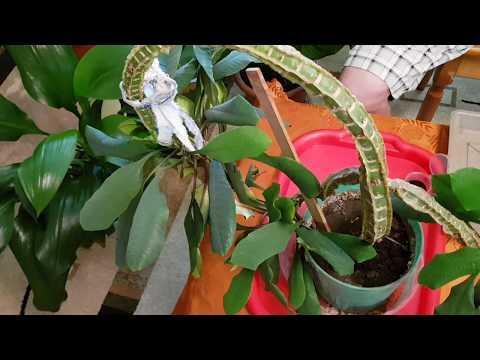 Домашние растения. Размножение Эуфорбии (Молочай Беложилковый) Часть 1-я.