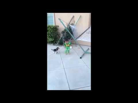 Beagle Puppy Play Bite