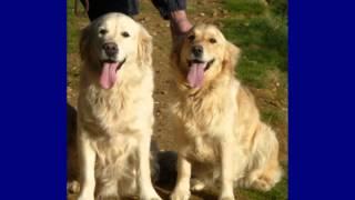 Anguskye Kennel Club Registered Pedigree Golden Retrievers