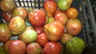 Сортировка томатов для рецептов. Сорта помидор. Эпизод №5.