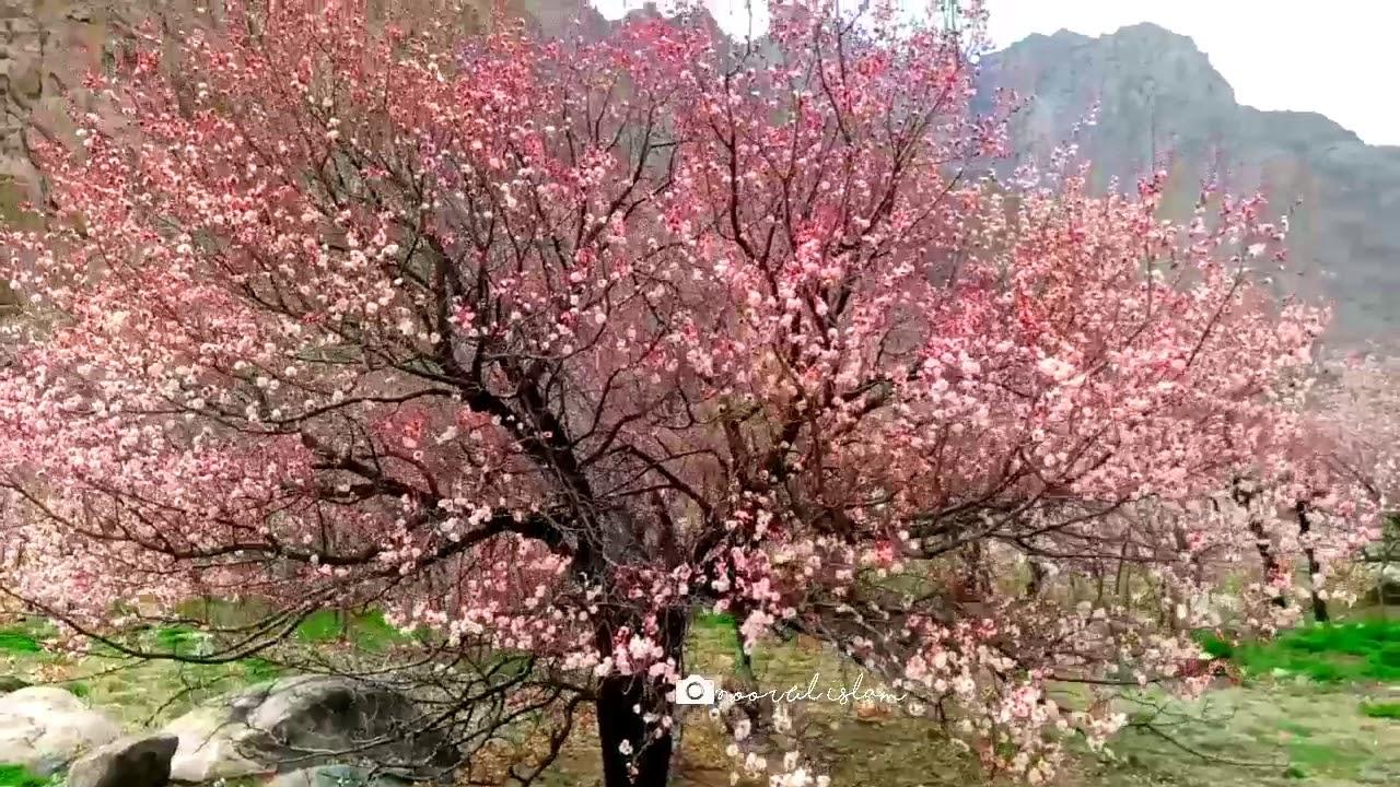 Apricot flower in Ladakh