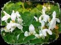 "Moringa - ""The Miracle Tree"" & ""The Elixir of Long Life"""