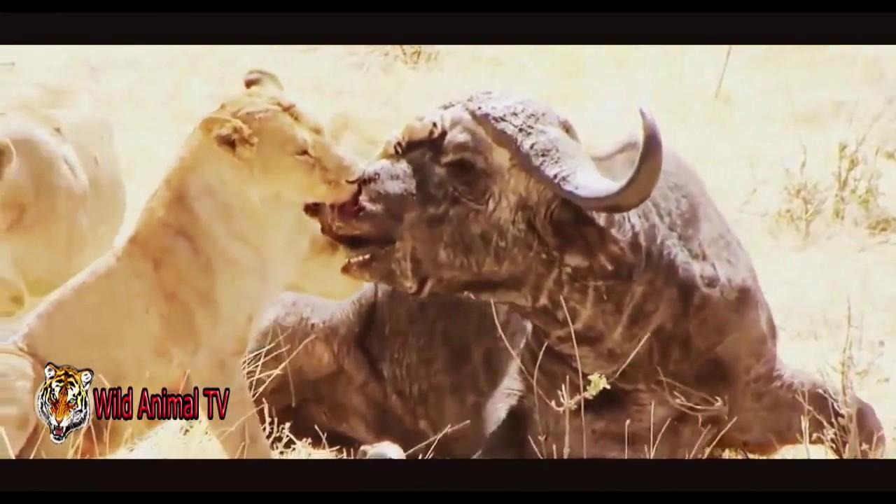 Download Wild Animal Attacks, Buffalo kills Lion - Lion vs Buffalo - Elephant vs Buffalo - Crazy Animals