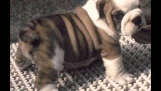 Bulldog - 9 Om Moun