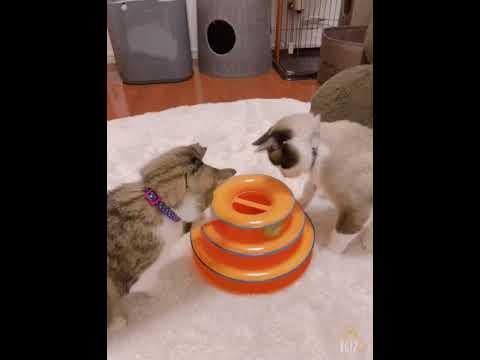 木箱猫ソラとリク。オモチャで遊ぶ。