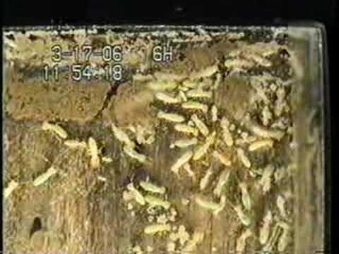 what does termite larva look like