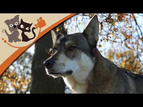 Der Tamaskan - Wolfshund mit Familiensinn