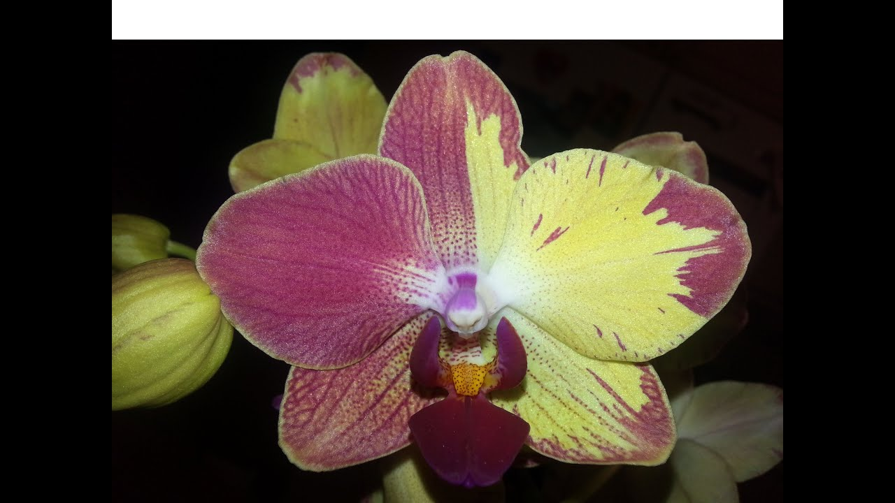 Orchid Phalaenopsis Colors