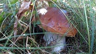Осіннє тихе полювання Білі гриби в Карпатах  Autumn Quiet Hunting Ceps In The Carpathians
