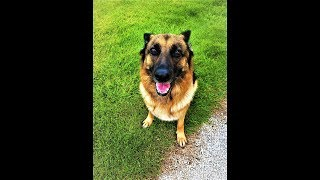 ► Dog barking Loudly in GARDEN - Plug your ears !! - Friska the German Shepherd
