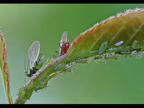 Comment liminer les pucerons au naturel youtube - Comment eliminer des fourmis ...