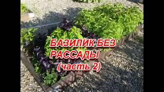 БАЗИЛИК БЕЗ РАССАДЫ 2 ЧАСТЬ