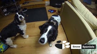 Snow Spaniels |springer Spaniel With Gopro|