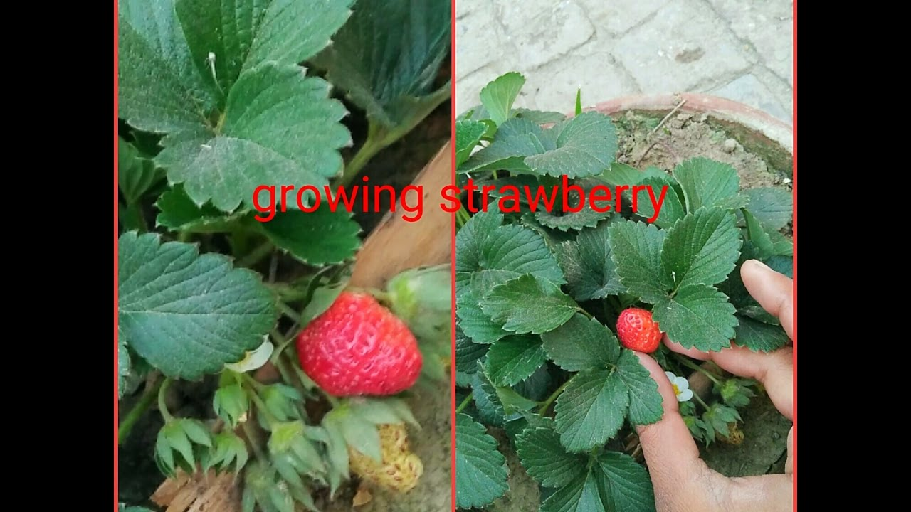Growing Strawberry Technique And Reporting And Grafted Hibiscus
