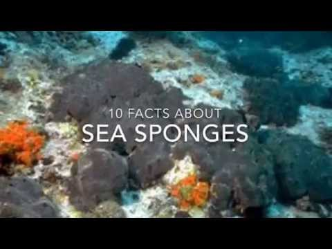 Sea Sponge Facts 10 Facts About Sea Sponges Youtube