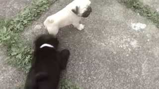 Darcy Vader the pug puppy fights fake dog.