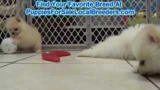 Pomeranians Puppies For Sale Local Breeders