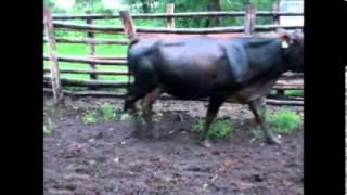RLMS 2014-011 BEATRICE 18 Cows ESTLW 400kg (350-450)FM